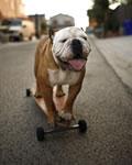 Foto do Tillman, o cachorro skatista